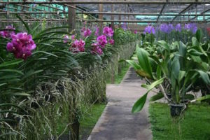 Mae Rim Attraction - Sai Nam Phung Orchid Farm
