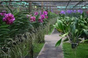 Mae Rim Attraction - Sai Nam Phung Orchid Farm